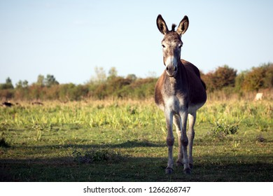The donkey is standing outdoors in nature, organic donkey breeding concept.