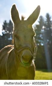 donkey in sunset shimmer