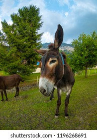 Donkey at the Switzerland farm