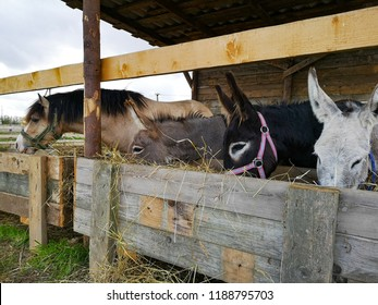 donkeys are eating hay