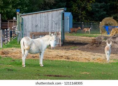 Donkeys and goats at a farm