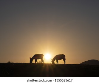 Donkeys grazing at sunset with the sun in the background. Euskadi, Spain