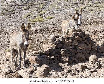 Donkeys on the canary island standing with pointed ears in the wasteland in the sun.