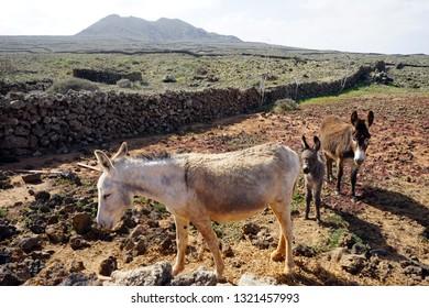 Donkeys on the farmland of Fuerteventura island, Spain
