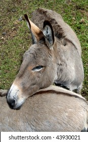 Donkeys at Panaewa Rain Forest Zoo on Big Island of Hawaii show affection. These two donkeys have a special marking. A black cross is blazed down their backs.
