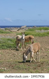 Donkeys roam wild on Bonaire