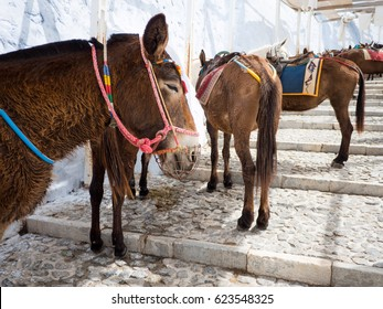 The donkeys of Santorini island in Cyclades used for transportation, Greece