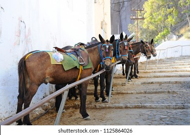The donkeys for transportation above the volcanic caldera in the village of Thira in Santorini island, Greece