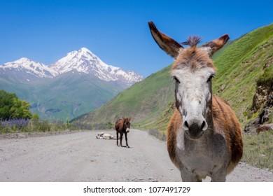 Donkeys walking on the road Sno Juta in beautiful mountain landscape Kazebegi, Georgia
