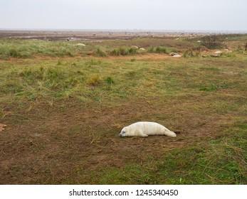 Donna Nook Grey Seal Colony,  Lincolnshire.