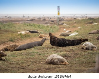 Donna Nook Grey Seal Colony,  Lincolnshire.