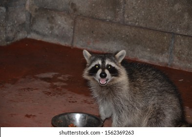 Don't feed the raccoons in your backyard