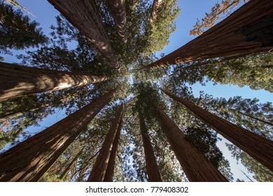 Don't forget to look up.  Giant sequoias of Muir grove