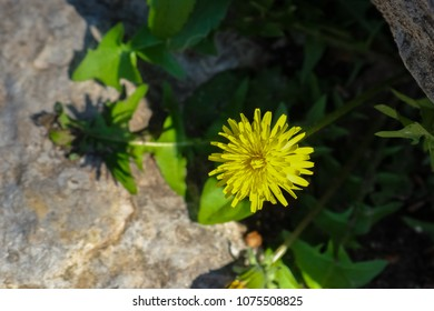 Don't spray the dandilions - wild dandilion growing in the crevice of a rock in late spring