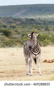 Don't stare at me - Burchell's zebra is a southern subspecies of the plains zebra. It is named after the British explorer and naturalist William John Burchell.