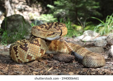 """""""Don't Tread On Me"""" - Northern Blacktail Rattlesnake (Crotalus molossus molossus) on Trail in Ramsey Canyon, Huachuca Mountains, Arizona"""
