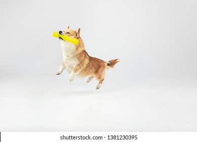 Don't you know I can fly. Welsh corgi pembroke puppy in motion. Cute fluffy doggy or pet is playing isolated on white background. Studio photoshot. Negative space to insert your text or image.