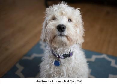 Doodle Sitting - Dog
