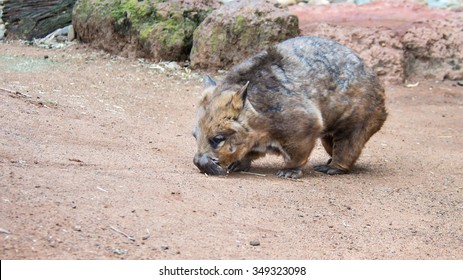 DOONSIDE, NSW/AUSTRALIA - NOV 2, 2015: Southern Hairy-nosed Wombat (Lasiorhinus latifrons) sniffing the ground at Featherdale Wildlife Park, New South Wales, Australia.
