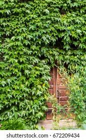 Door hidden by ivy