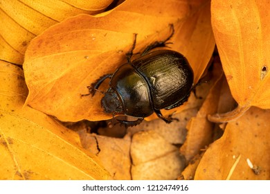Dor beetle (Anoplotrupes) on beech leaves