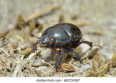 Black Beetles Images, Stock Photos & Vectors | Shutterstock