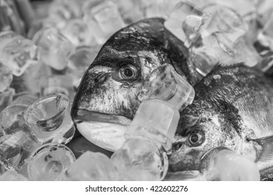 Dorade chilled on ice for seafood the stand . Black and white photography.