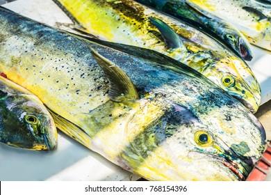 Dorado dolphin fish also known as mahi-mahi or Coryphaena Hippurusl. Fresh fishing catch.