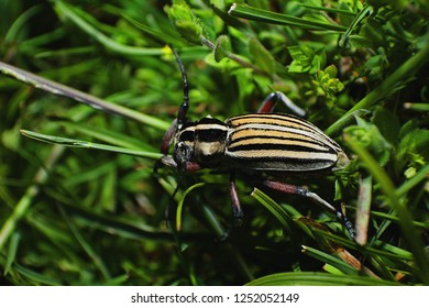 Dorcadion alexandris, bugs, beetle, insects