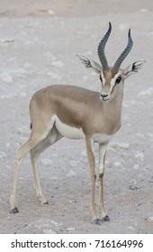 Dorcas Gazelle, Arabian Sand, Goitered Gazelle