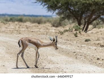 Dorcas gazelle (Gazella dorcas) inhabits desert and savanna areas of the Middle East. Focus on animal