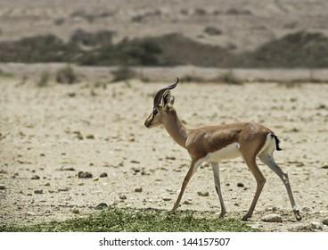 Dorcas Gazelle in Israeli Nature Reserve, 35 km north of Eilat