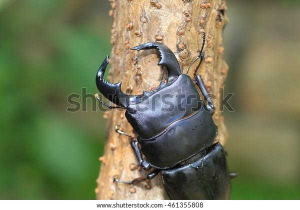 Dorcus bucephalus in Java Island, Indonesia