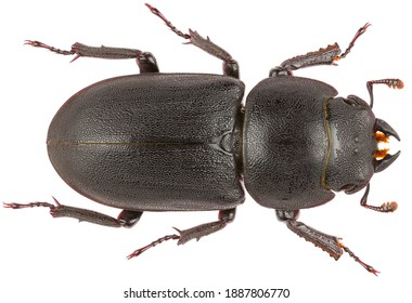 Dorcus parallelipipedus, the lesser stag beetle, is a species of stag beetle from the family Lucanidae. Dorsal view of lesser stag beetle isolated on white background.