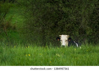 Dordogne, France 04/29/2019 A cow lying in the grass of the Dordogne