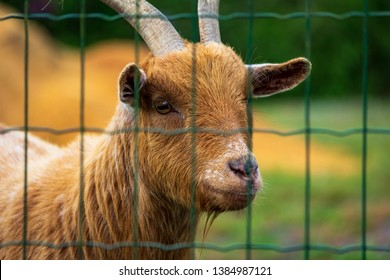 Dordogne, France 04/29/2019 A goat in his cage in the city