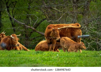 Dordogne, France 04/29/2019 Limousin cows in a meadow with a calf sucking