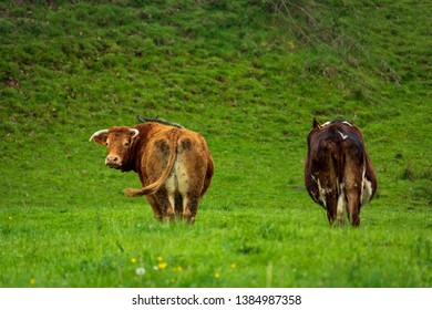 Dordogne, France 04/29/2019 Two cow eating grass in a meadow in the Dordogne