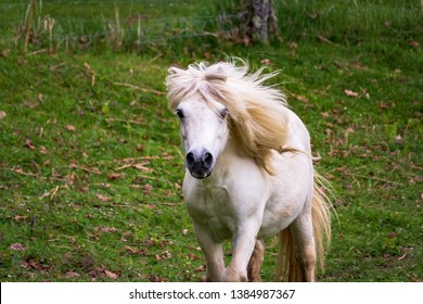 Dordogne, France 04/29/2019 A white pony galloping in a meadow