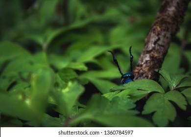 Dordogne, France 3/04/2019 Meloe Violaceus like a blue ant