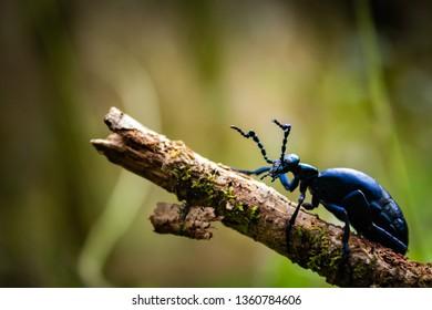 Dordogne France 3/04/2019 Meloe Violaceus like a blue ant