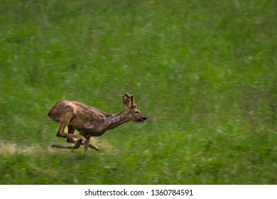 Dordogne, France 5/04/2019 a doe galloping in a meadow