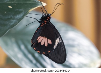 Doris longwing butterfly (Heliconius doris viridis) close up on green plant