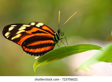 Doris longwing butterfly (Laparus doris) macro. Beautiful exotic butterfly on the leaf with copy space