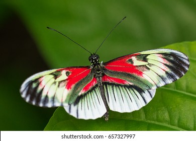 Doris (Madiera)  longwing, piano keys butterfly