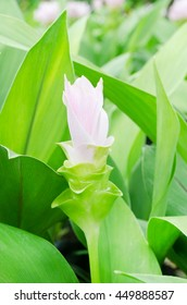 Dork Krajeaw or Siam Tulip with green leaves background, selective focus on soft pink petals