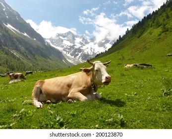 dormant milk cows in a pasture