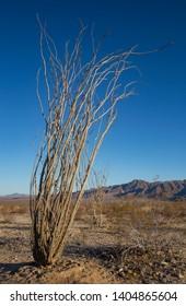 Dormant Ocotillo (Fouquieria splendens), Ocotillo Patch, Joshua Tree National Park, California, USA