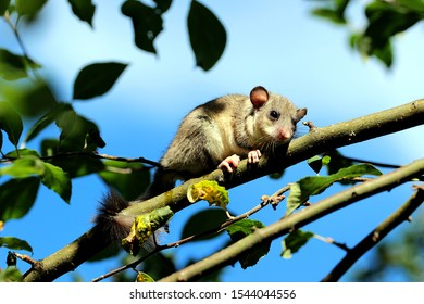 dormouse looks curiously down from the tree