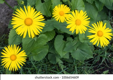 Doronicum is a spring flowering plant. Selective focus.